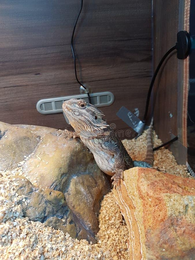 Rodney il drago immagini stock libere da diritti