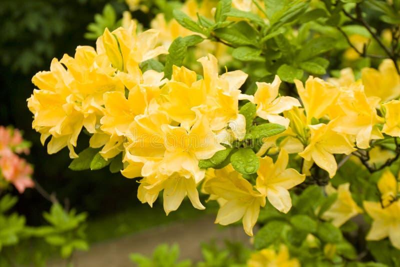 Rododendri gialli immagine stock immagine di pianta for Rododendro pianta
