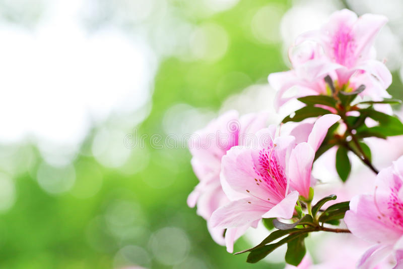 Rododendro 2 de la azalea foto de archivo