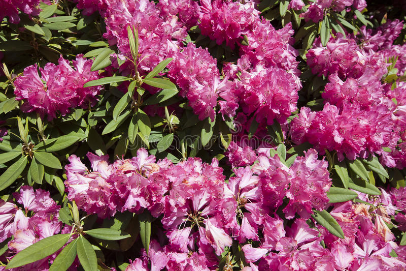rododendro στοκ φωτογραφία