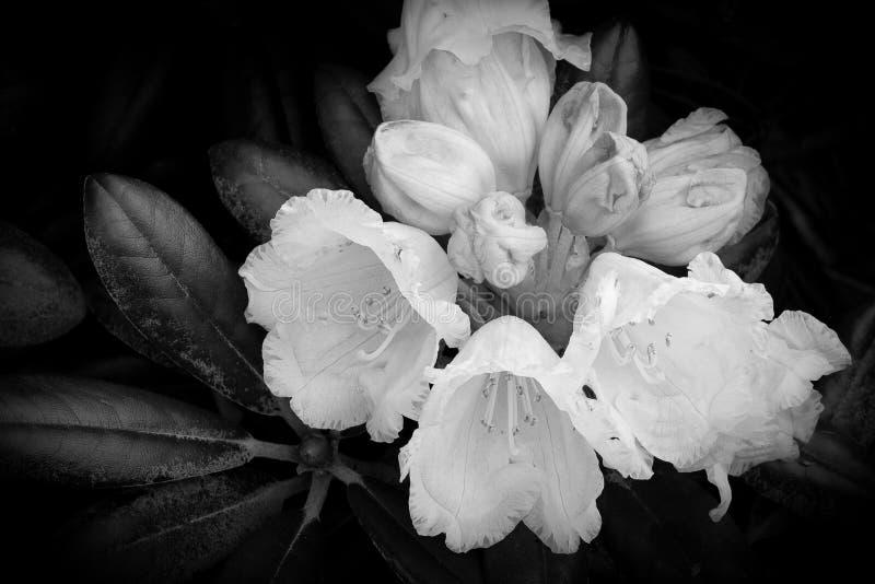 Rododendro fotografie stock
