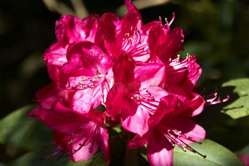 Rododendro al sole fotografia stock libera da diritti