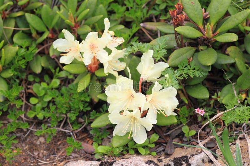 rododendro Amarillo-florecido foto de archivo libre de regalías