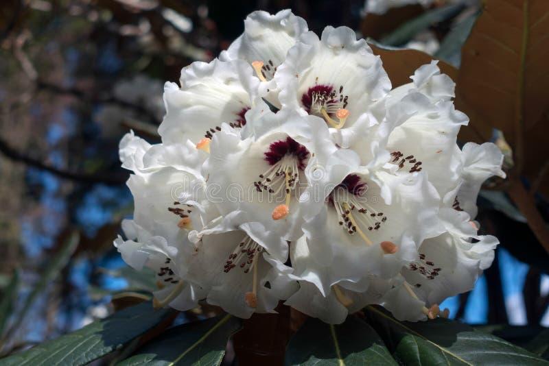 Rododendro blanco imágenes de archivo libres de regalías