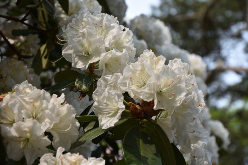 Rododendro blanco precioso con las flores blancas magníficas imagen de archivo libre de regalías