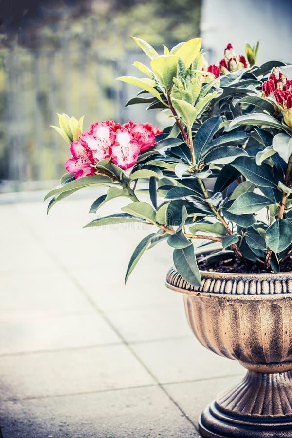 Rododendro bonito que florece en plantador de la urna en terraza o balcón Envase del patio que cultiva un huerto con rododendro fotos de archivo libres de regalías