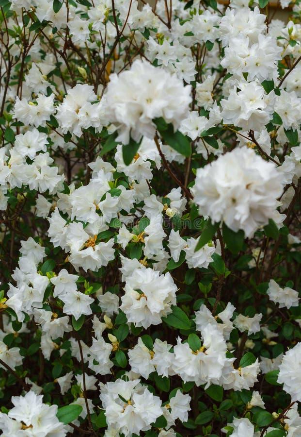 Rododendro branco no jardim, mola adiantada foto de stock royalty free