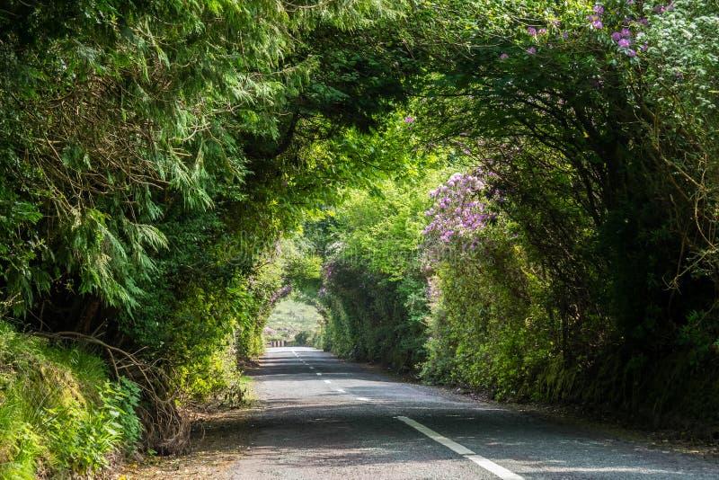 Rododendro che cresce nella valle a forma di V in Irlanda fotografia stock libera da diritti