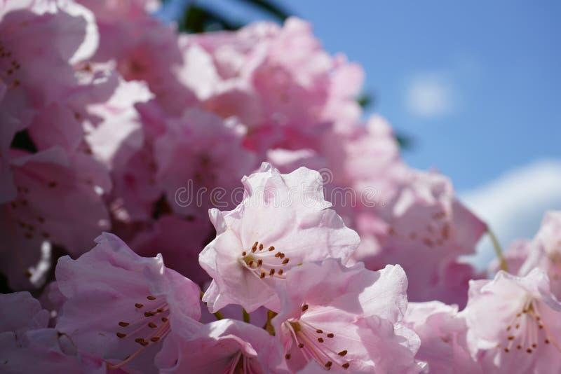 Rododendro coloreado rosa claro en primer con el bokeh hermoso imagenes de archivo