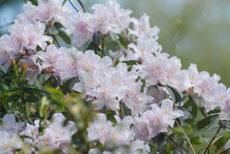 Rododendro con los racimos de racimos de flores fotos de archivo libres de regalías