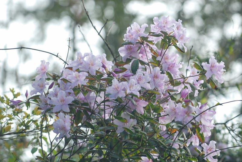 Rododendro con los racimos de racimos de flores imágenes de archivo libres de regalías
