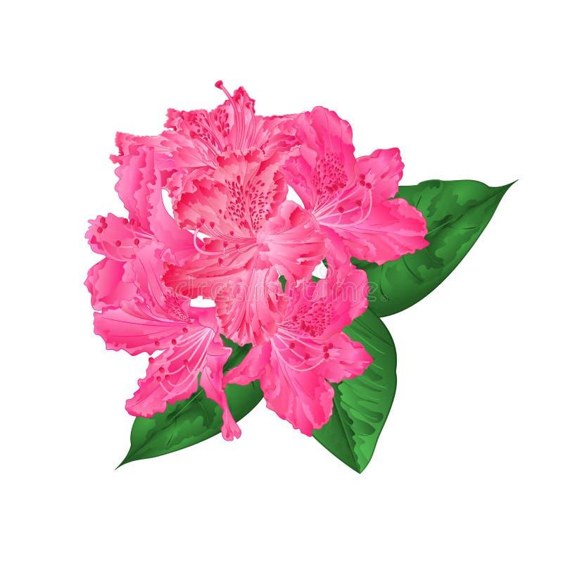 Rododendro cor-de-rosa das flores com folhas em uma ilustração branca do vetor do vintage do fundo editável ilustração do vetor