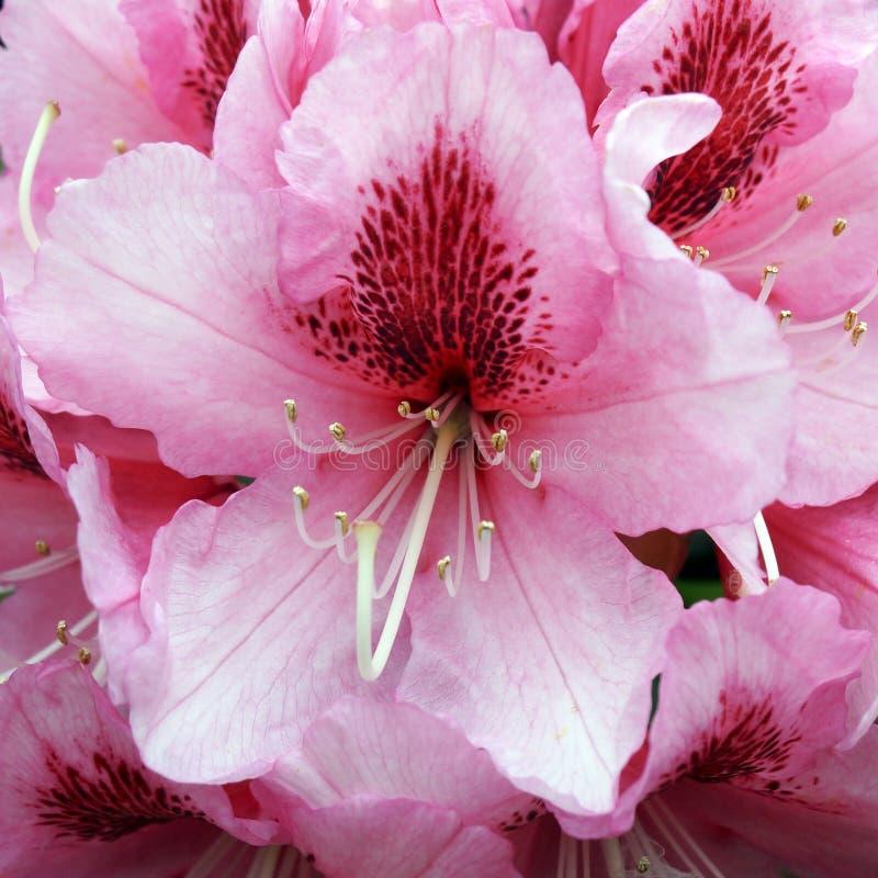 Rododendro cor-de-rosa de florescência fotografia de stock royalty free