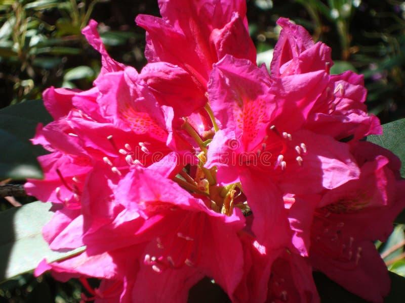 Rododendro cremisi vibrante in fiore fotografia stock
