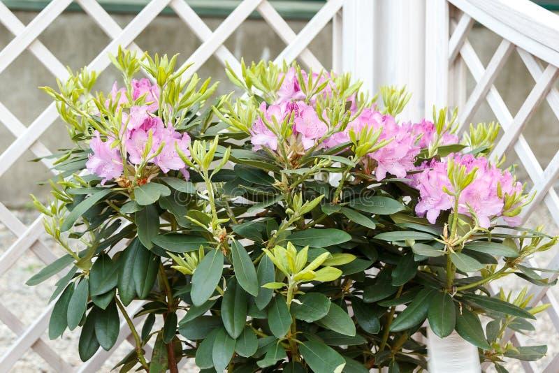 Rododendro de florescência bonito com flores cor-de-rosa fotografia de stock royalty free