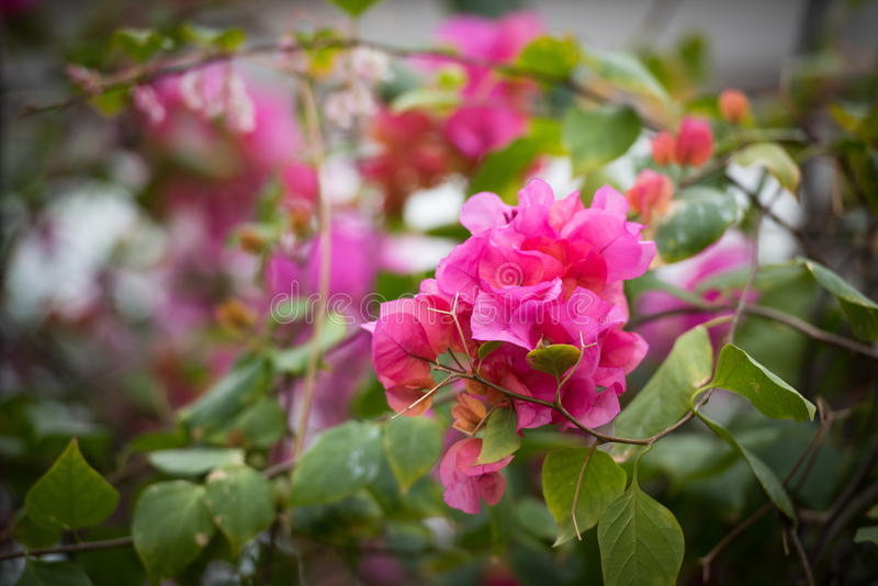 Rododendro de florescência cor-de-rosa fotografia de stock