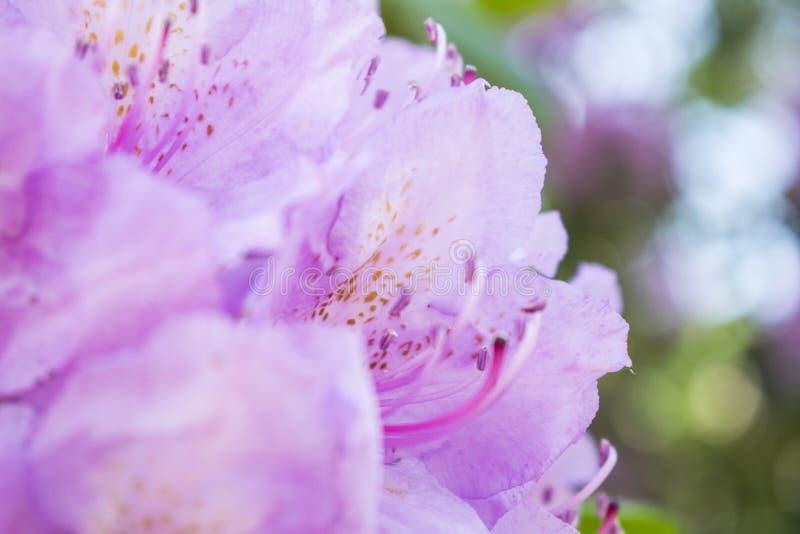 Rododendro de florescência do rosa do ramo Foto da flor do ver?o foto de stock
