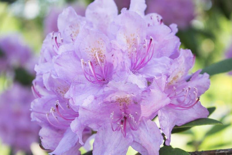 Rododendro de florescência do rosa do ramo Foto da flor do ver?o imagens de stock royalty free