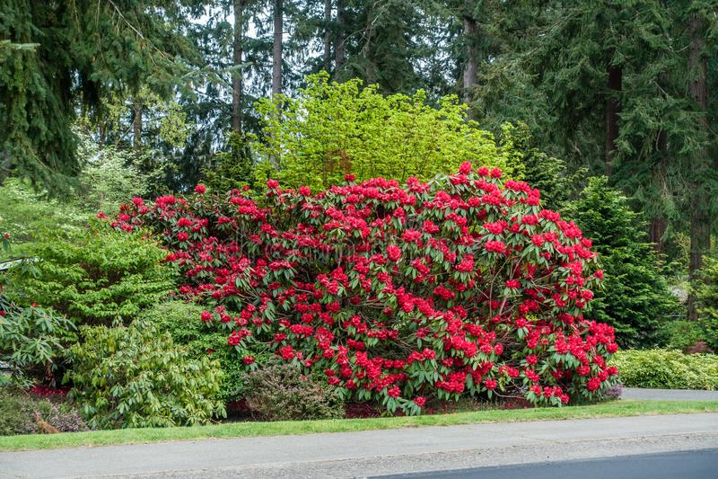 Rododendro del bordo della strada fotografie stock