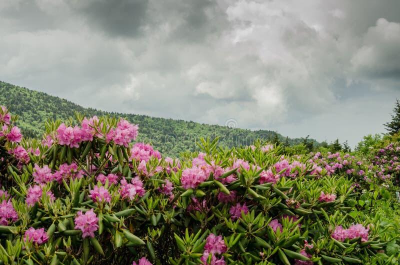 Rododendro delante de Ridge azul imágenes de archivo libres de regalías