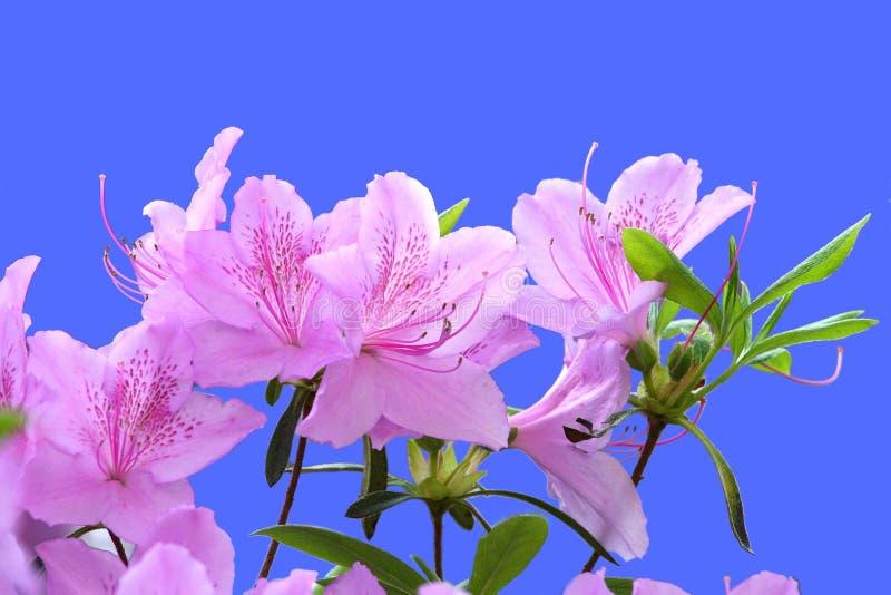 Rododendro dentellare fotografia stock libera da diritti