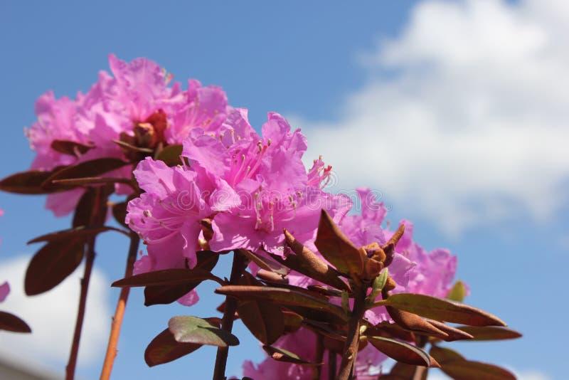 Rododendro dentellare fotografia stock