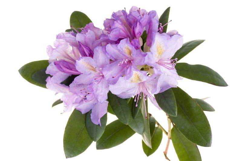 Rododendro dentellare, azalea fotografia stock libera da diritti
