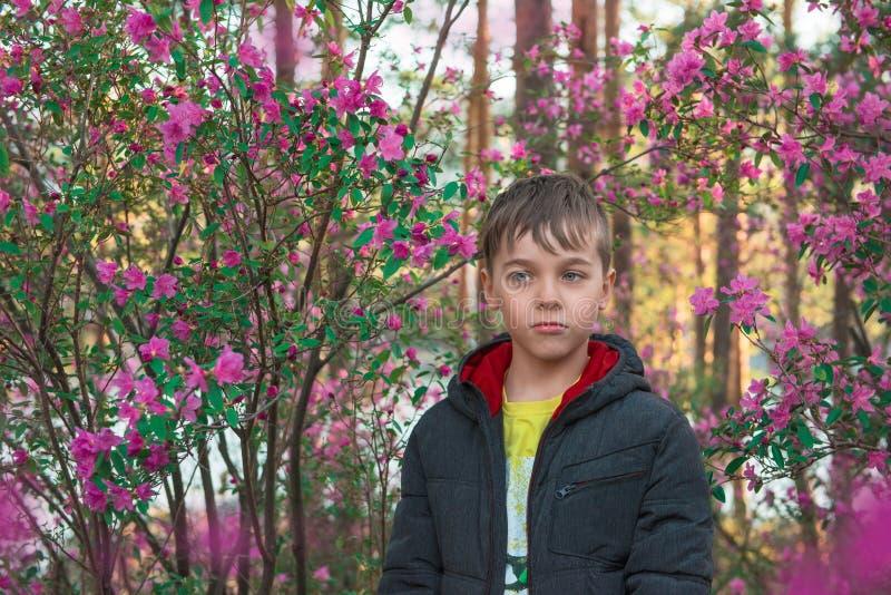 Rododendro di fioritura del maralnik in montagne di Altai immagini stock