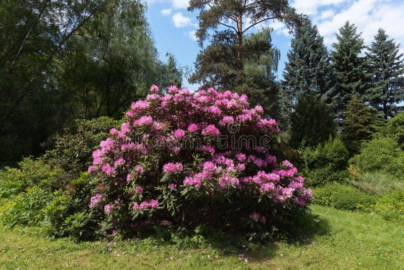 Rododendro di fioritura fertile nel giardino botanico centrale Composizione nel paesaggio immagini stock