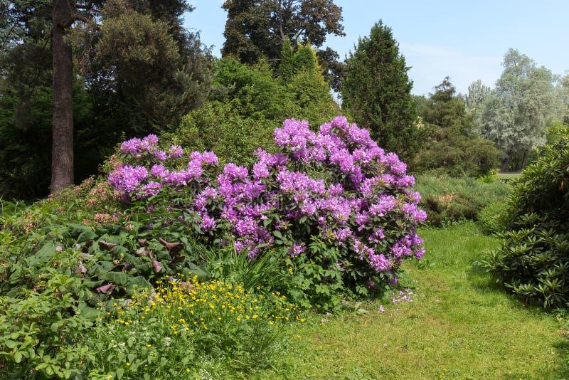 Rododendro di fioritura fertile nel giardino botanico centrale Grandi inflorescenze del rododendro fotografia stock