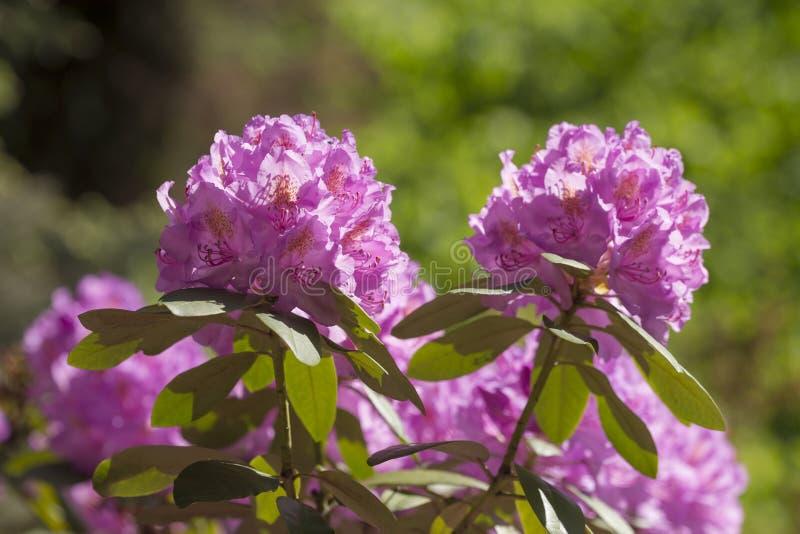 Rododendro en jard?n de la primavera imagen de archivo