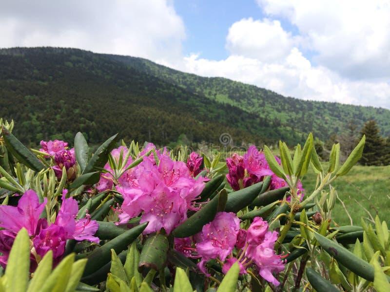 Rododendro en las montañas apalaches fotografía de archivo libre de regalías
