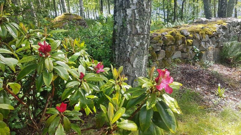 Rododendro en Suecia foto de archivo
