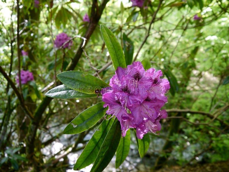 Rododendro nel legno fotografie stock libere da diritti