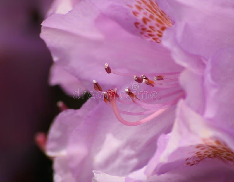 Rododendro púrpura imágenes de archivo libres de regalías