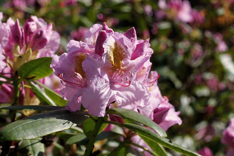 Rododendro in primavera immagine stock