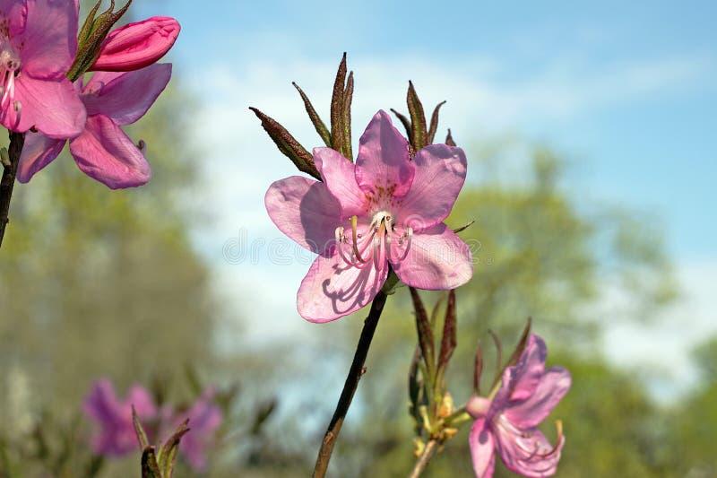 Rododendro in primavera immagine stock libera da diritti