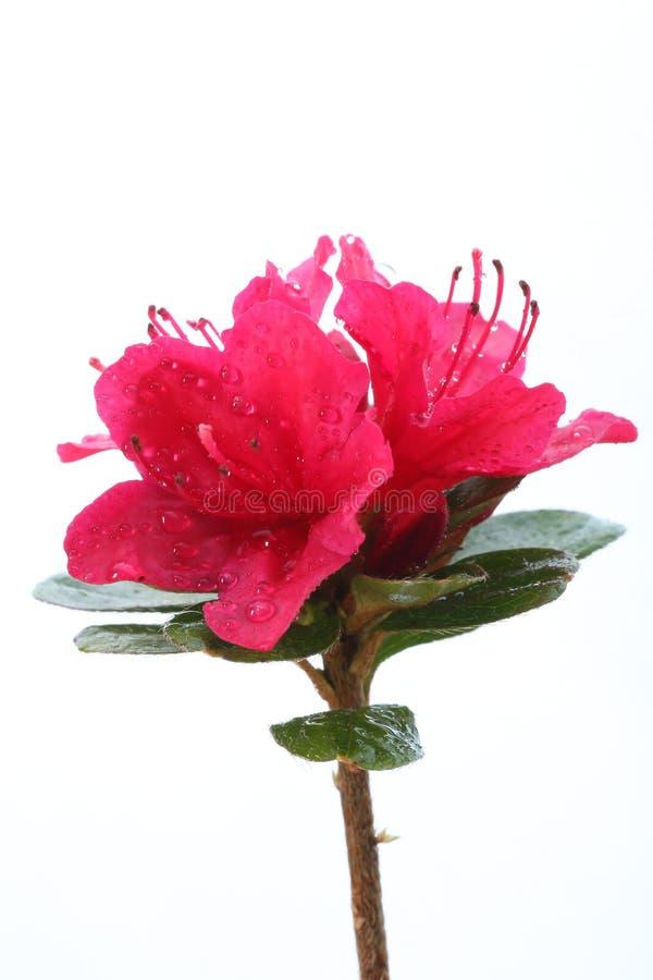 Rododendro rosa con le gocce di rugiada immagine stock