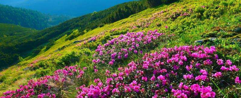 Rododendro rosa di fioritura in montagne di estate fotografia stock