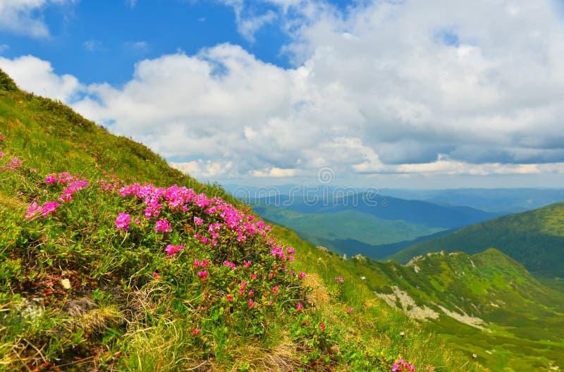 Rododendro rosa di fioritura in montagne di estate immagine stock libera da diritti