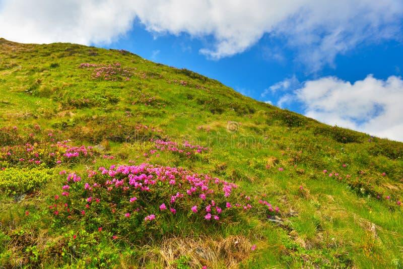 Rododendro rosa di fioritura in montagne di estate immagini stock
