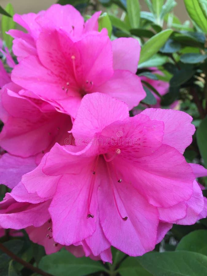 Rododendro rosado de las azaleas foto de archivo