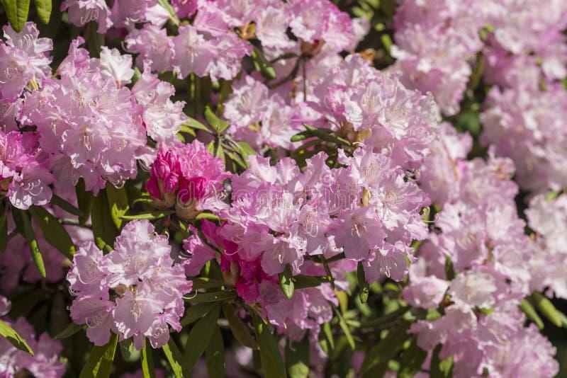Rododendro rosado en la primavera imágenes de archivo libres de regalías
