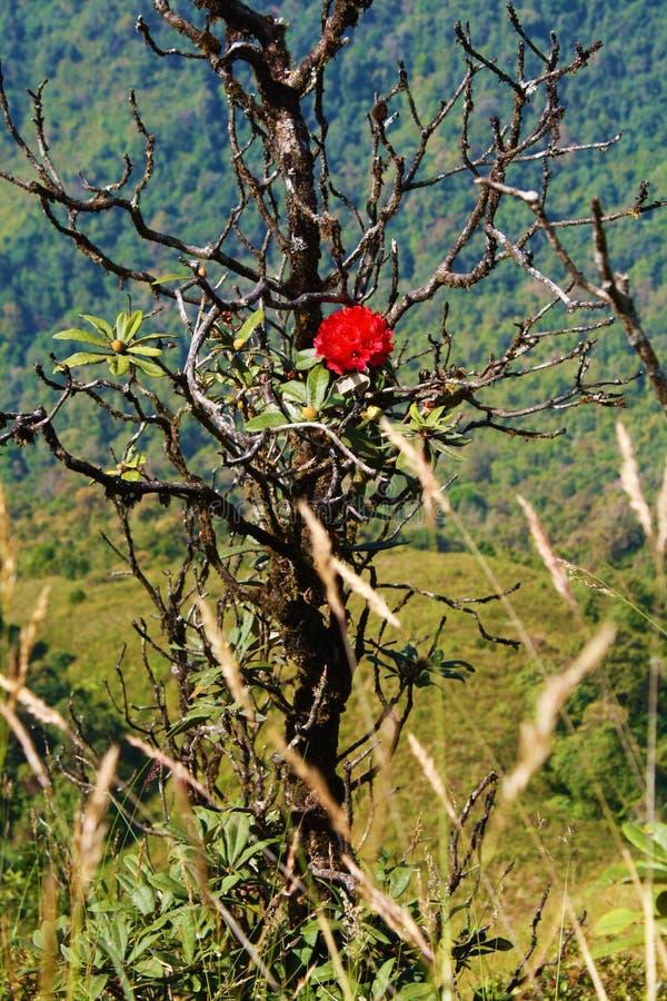 Rododendro Rose en la montaña foto de archivo libre de regalías