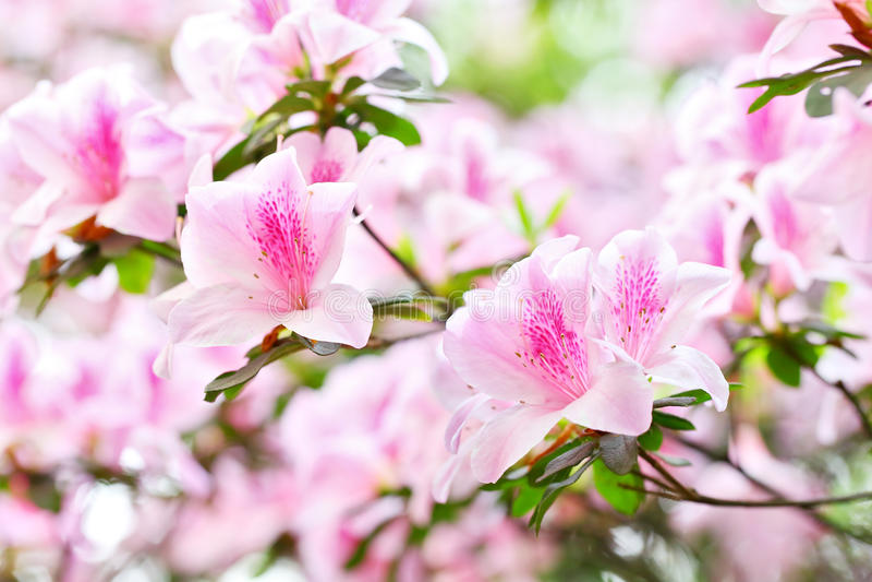 Rododendron 3 van de azalea stock foto
