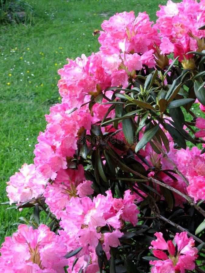 Rododendron stock fotografie