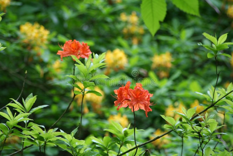 Rododendron royalty-vrije stock fotografie