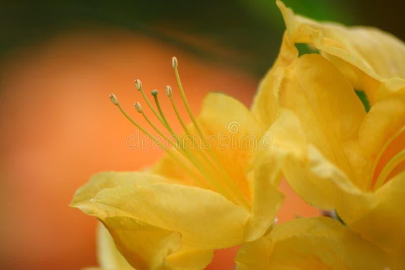 rododendron стоковое фото