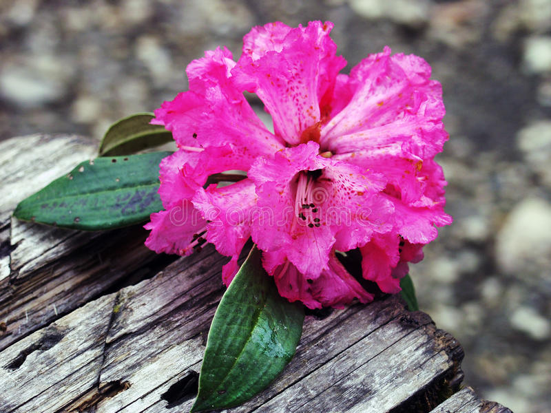 Rododendron blommor arkivfoton
