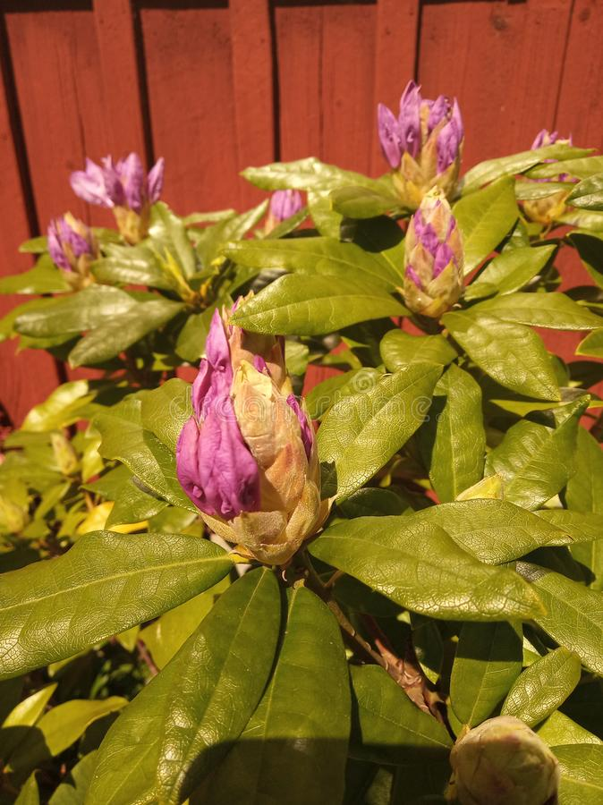 my rododendron at my garden. royalty free stock image